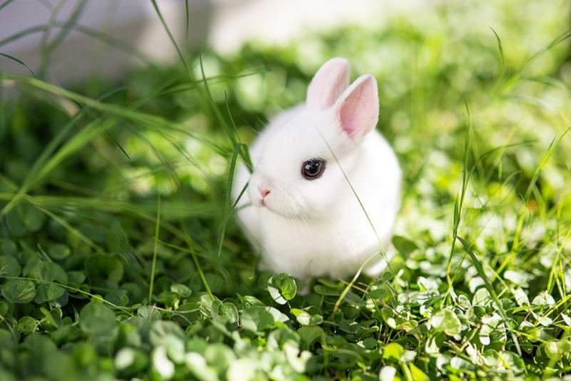 Dwarf rabbit How to Get and Care for Dwarf Rabbits EnkiVillage